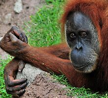 Orangutan Blues by Dennis Stewart