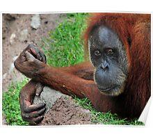 Orangutan Blues Poster