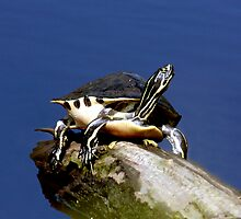 FLORIDA COOTER by TomBaumker
