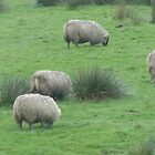 sheep by mgray