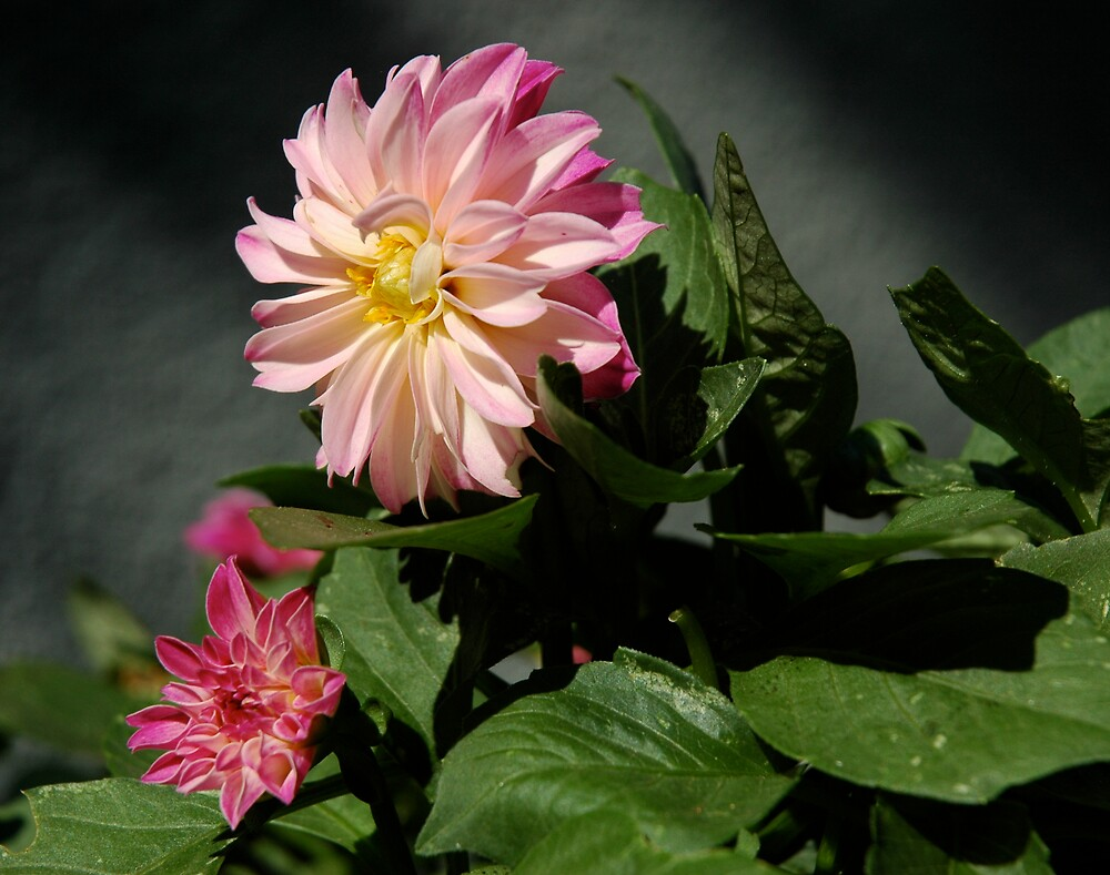 Sun Kissed Dahlias by Ainsley Kellar Creations