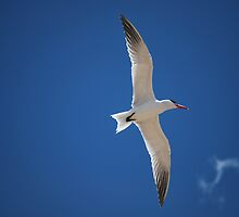 Caspian Tern by Sealinator