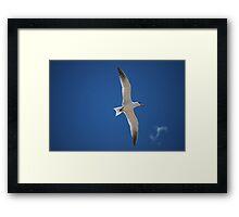 Caspian Tern Framed Print