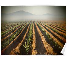 Sweet Fields - Sugar Cane - Bramston Beach - Queensland - Australia Poster