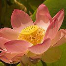 Lotus Flower, Adelaide Botanic Gardens by SusanAdey