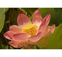 Lotus Flower, Adelaide Botanic Gardens Photographic Print