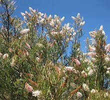 Strongly honey scented grevillea flowers. by Marilyn Baldey