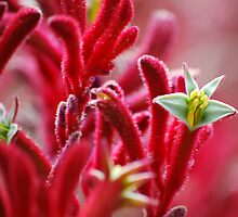 Red Kangaroo Paw Native Plant by Bernie Rosser