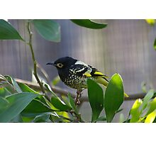 honey eater Photographic Print