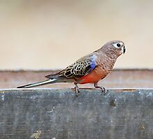 Bourke's Parrot sitting on a stock watering trough at Edward's Creek Bore on the Oodnadatta Track. by Alwyn Simple