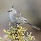 Chirruping Wedgebill taken at the Living Desert Park outside Broken Hill by Alwyn Simple