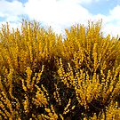 Acacia, Aldersyde WA by LouJay