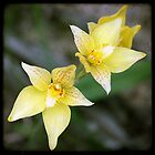Yellow Orchids by Miriam Shilling