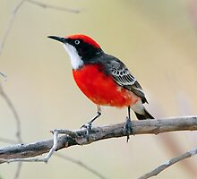 Crimson Chat Taken at Eyre Creek in the Simpson Desert. by Alwyn Simple