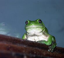 Green Tree Frog near Mullumbimby NSW by Fossdos