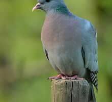 Stock dove by Peter Wiggerman