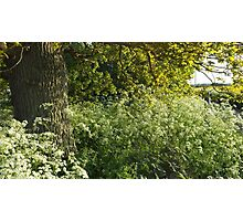 Clouds of Cow Parsley Photographic Print