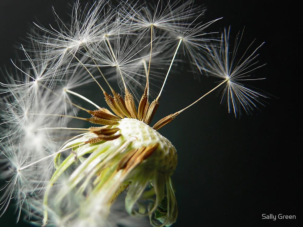 Dandelion Seedhead by Sally Green
