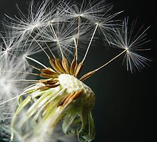 Dandelion Seedhead by Sally Green