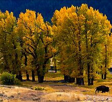 Cottonwoods and Lone Bison, Lamar Valley.Yellowstone National Park. Wyoming. USA. by photosecosse /barbara jones