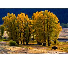 Cottonwoods and Lone Bison, Lamar Valley.Yellowstone National Park. Wyoming. USA. Photographic Print