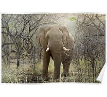 Elephant at Thanda Game Reserve KwaZulu-Natal Poster