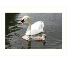 Swan & 2 Cygnets Art Print