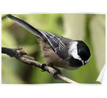 Black-Capped Chickadee Pointing Down Poster