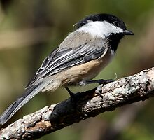 Black-Capped Chickadee a Curious Bird by Wolf Read