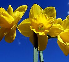 Daffodils by Ali-in-Cambs