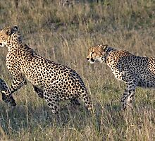 Cheetah Males Playing by Michael  Moss