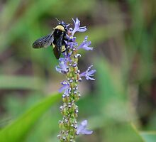 Bumblebee on Pickerel Weed I by rd Erickson