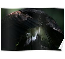 Harris's Hawk tail feathers  Poster