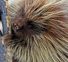 Porcupine Hard At Work by A.M. Ruttle