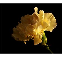 Yellow Carnation Photographic Print
