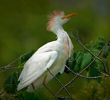 Cattle Egret by Bonnie T.  Barry