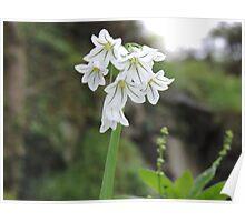 Three cornered leek flower Poster
