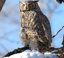 Great Horned Owl by Ron Kube