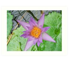 Water Lilly Art Print