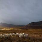 Quairang Sheep by Claire Walsh