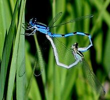 Azure Damselflies in Bug Love by plunder
