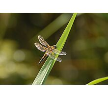Four-spotted Chaser Dragonfly Photographic Print