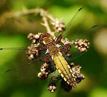 Beautiful Bug by vanStaffs