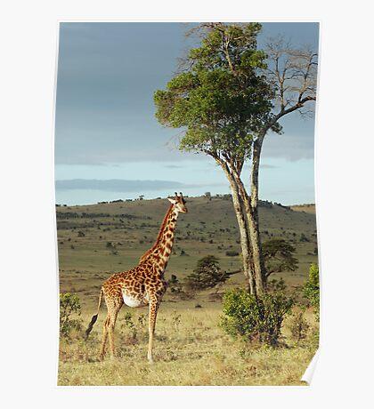 Giraffe - Masai Mara Poster
