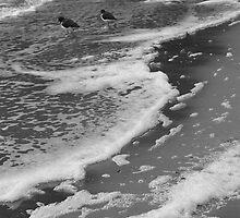 Pied Oyster Catchers by Kristi Robertson