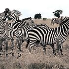 Zebra by Michael  Moss