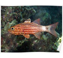 Cardinalfish Poster