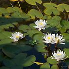 Ponds of Water Lilies by Mary Campbell