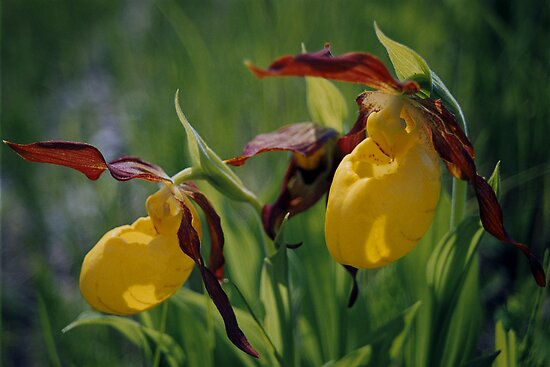 """  Yellow Ladies Slipper  "" by fortner"