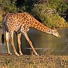 Giraffe Drinking by Michael  Moss